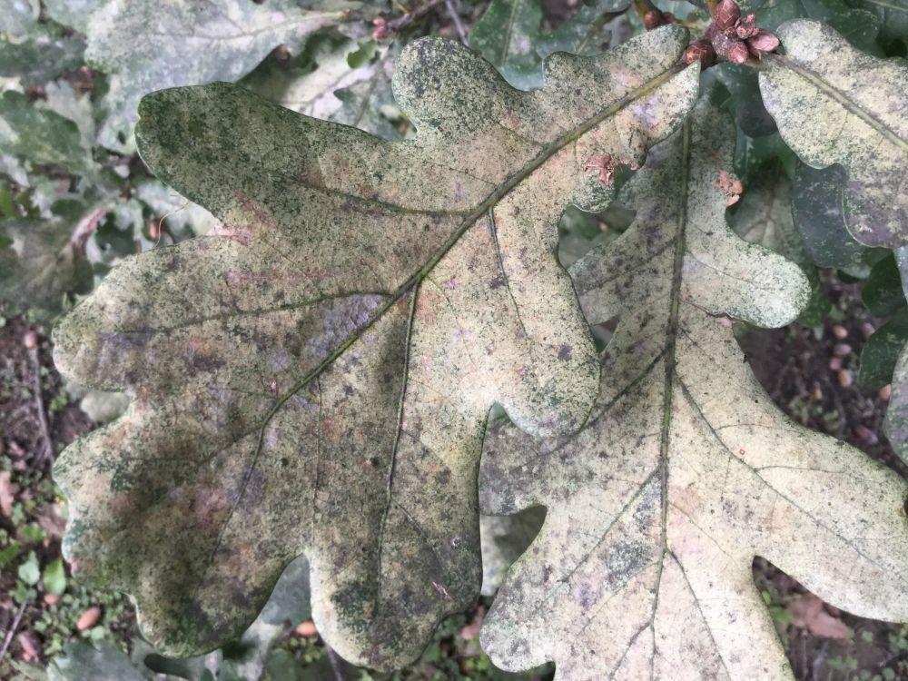 Fertőzött tölgy levelének színe