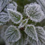 Nagykanizsa, 2020. november 21. Deres növény Nagykanizsa közelében napfelkeltekor 2020. november 21-én. A térségben hajnalban több helyen -2 Celsius-fok hideget is mértek. MTI/Varga György
