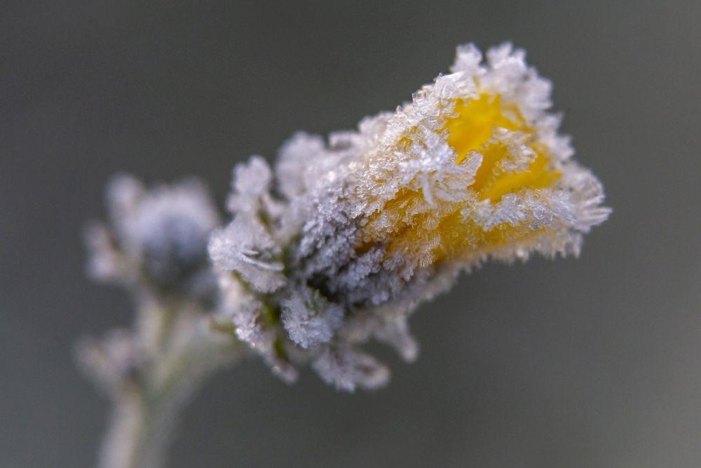 Nagykanizsa, 2020. november 21. Deres virág Nagykanizsa közelében napfelkeltekor 2020. november 21-én. A térségben hajnalban több helyen -2 Celsius-fok hideget is mértek. MTI/Varga György