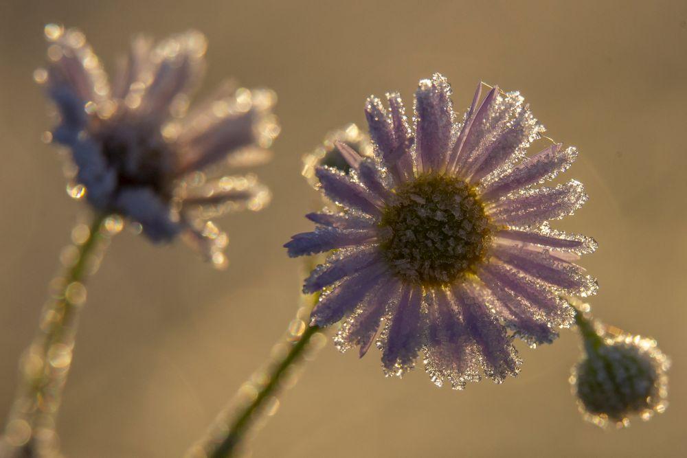 Nagykanizsa, 2020. november 21. Deres virágok Nagykanizsa közelében napfelkeltekor 2020. november 21-én. A térségben hajnalban több helyen -2 Celsius-fok hideget is mértek. MTI/Varga György