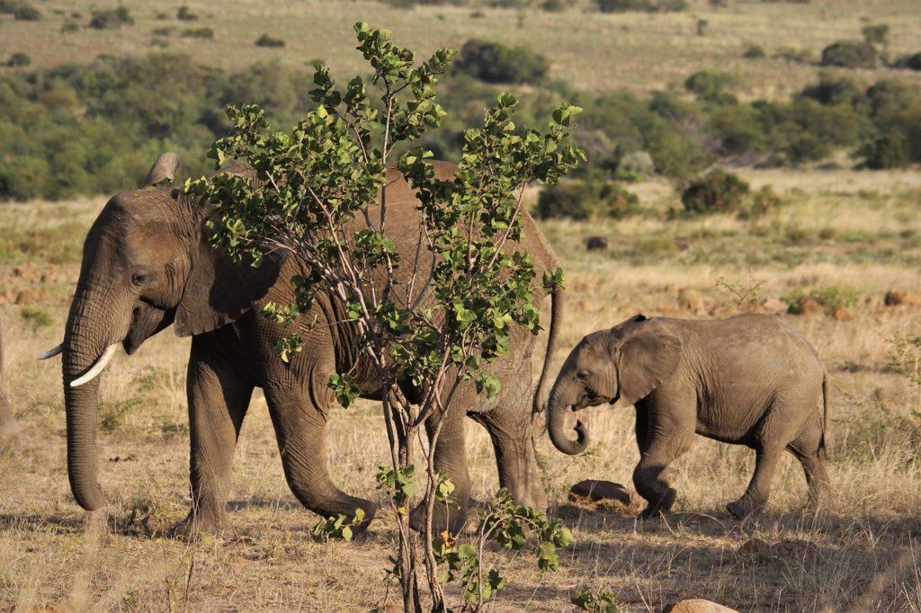 afrikai_elefant
