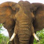 afrikai_elefant_2