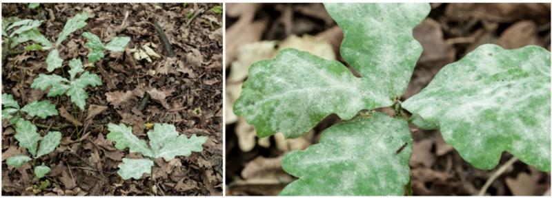 Tölgy-lisztharmattal súlyosan fertőzött, pusztuló fiatal kocsányostölgy-magoncok. A szőlőlisztharmat-betegségéhez hasonlóan a tölgy-lisztharmat esetében is fátyolos fehér lepedék képződik a csemete levelének felszínén, amely eltakarja a napfényt. Árnyékos erdőben 3-5 éven belül elpusztul a magonc, míg ha fény éri, még jobban elharapódzik rajta a fertőzés, növekedése lelassul, és a versenytársak végül túlnövik, elnyomják.