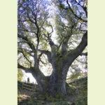 Lecina ezeréves magyaltölgye02