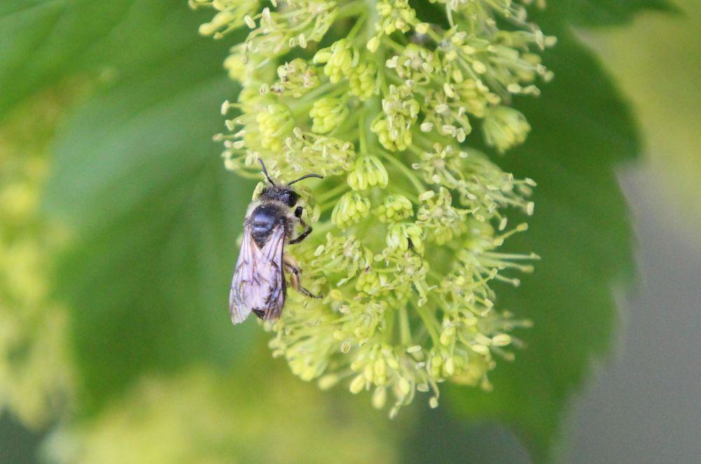 A beporzó rovarok esetében az elmúlt 30 évben 75 százalékos volt az állománycsökkenés (Fotó: Gribek Dániel)