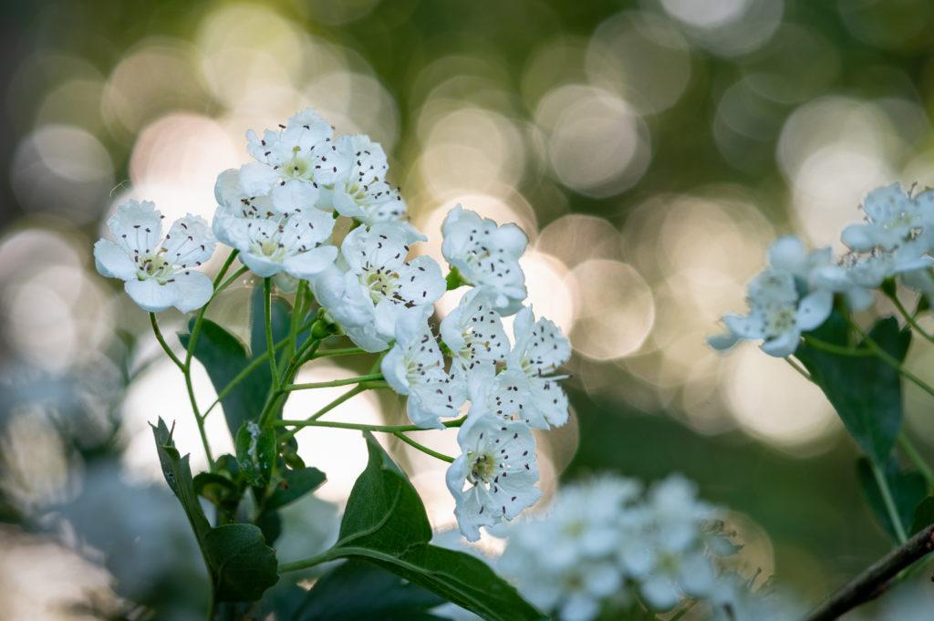 Virágzó galagonya (Fotó: Pilisi Parkerdő Zrt.)