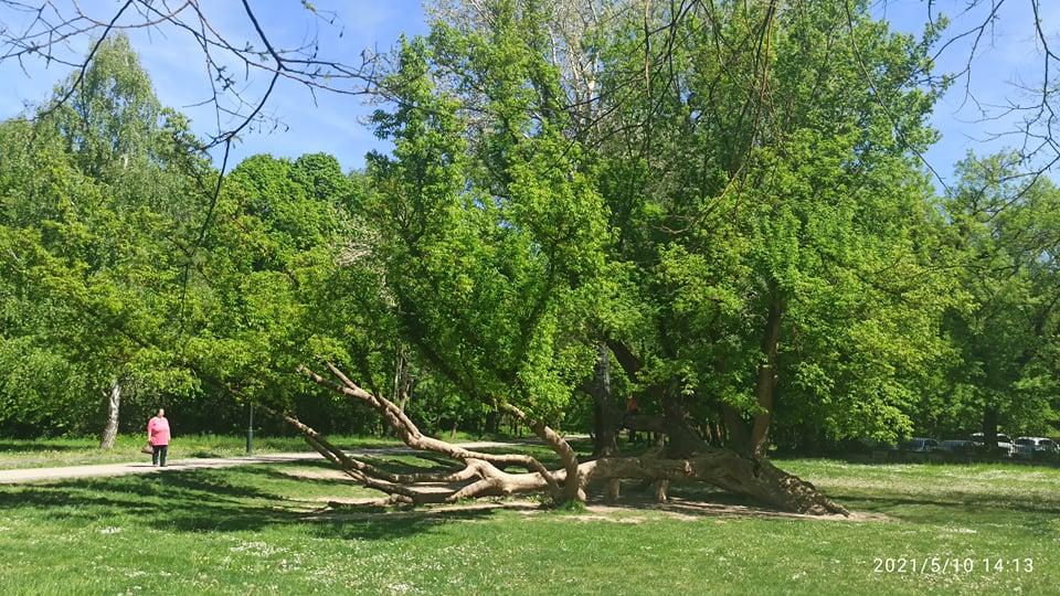 Gödöllői görbefa