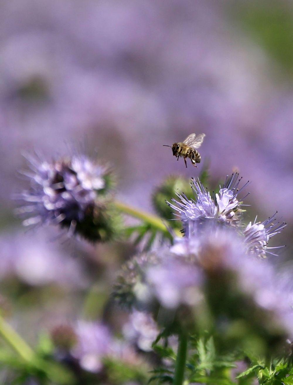 A biodiverzitás jelentős a facéliatábla szegélyében és belsejében is, a méhek aktívak a lilába borult területen
