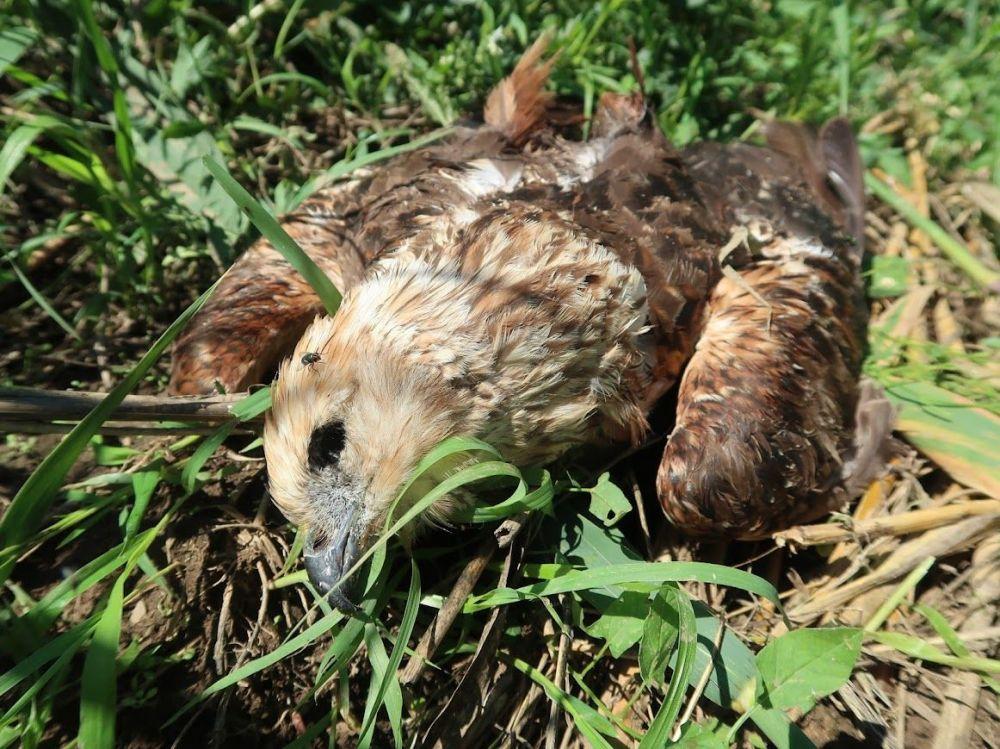 Rekord mennyiségű elpusztított ragadozómadarat találtak a természetvédők Tura térségében - Fotó: Deák Gábor, MME